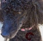 Standard Poodle, Black