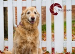 Golden Retriever, autumn, white picket fence,