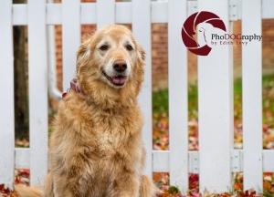 Golden Retriever, autumn, white picket fence,