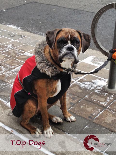 T.O. Dogs, Toronto dogs, boxer, Toronto pet photographer, pet photography,