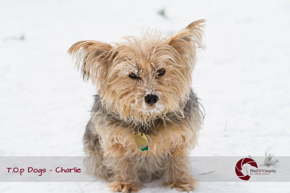T.O.p Dogs, Toronto dogs,Yorkie, Yorkshire Terrier, Toronto pet photographer, pet photography, winter, snow, dog park