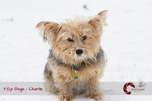 T.O.p Dogs, Toronto dogs,Yorkie, Yorkshire Terrier, Toronto pet photographer, pet photography, winter, snow, dog park