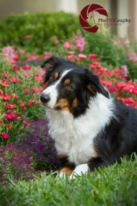 Toronto Pet Photographer, Paw Print Divas, Houston, photo shoot, lifestyle pet photography, Border Collie