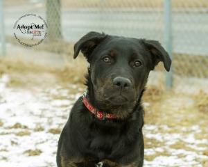 Toronto Animal Services West Region, dog, shelter, rescue, adoption, HeARTs Speak, Toronto Pet Photographer Pet Photographer, Rottweiler