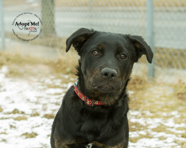 Toronto Animal Services West Region, dog, shelter, rescue, adoption, HeARTs Speak, Toronto Pet Photographer, Rottweiler
