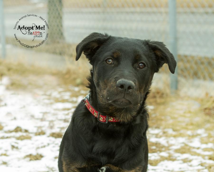 Toronto Animal Services West Region, dog, shelter, rescue, adoption, HeARTs Speak, Toronto Pet Photographer, Rottweiler