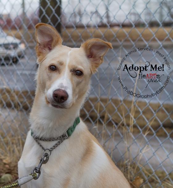 Toronto Animal Services West Region, dog, shelter, rescue, adoption, HeARTs Speak, Toronto Pet Photographer, Collie Sheppard