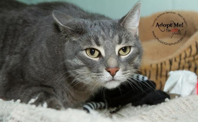 toronto Animal Services West Region, cat, shelter, rescue, adoption, HeARTs Speak, Toronto Pet Photographer