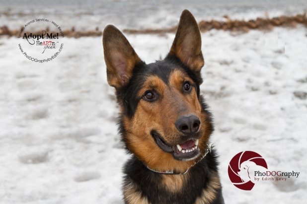 toronto Animal Services West Region, dog, shelter, rescue, adoption, HeARTs Speak, Toronto Pet Photographer, German Sheppard