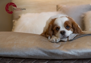 toronto Pet Photographer, Paw Print Divas, Houston, photo shoot, lifestyle pet photography, Cavalier King Charles Spaniel, Cavalier