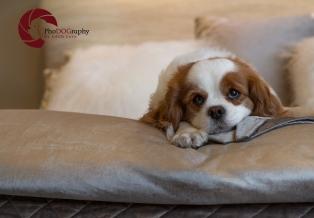 toronto Pet Photographer, Paw Print Divas, Houston, photo shoot, lifestyle pet photography, Cavalier King Charles Spaniel, Cavalier
