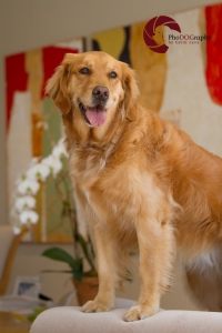 Toronto Pet Photographer, Paw Print Divas, Houston, photo shoot, lifestyle pet photography, Golden Retriever