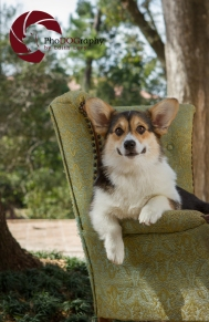 toronto Pet Photographer, Paw Print Divas, Houston, photo shoot, lifestyle pet photography, Corgi