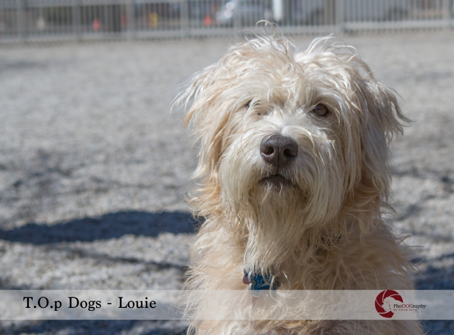 T.O. Dogs, Toronto dogs, Wheaton Terrier, Toronto pet photographer, pet photography, dog park, scruffy dog,