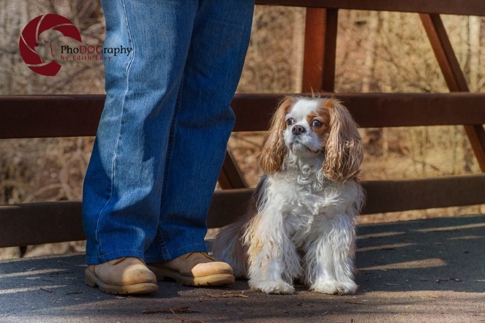 cavalier king charles spaniel, Toronto Pet Photographer, park, choosing a location, dog, pet photography, CKCS,
