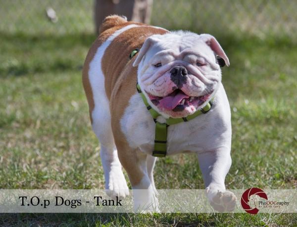 T.O.p Dogs, Toronto dogs, English Bulldog, Toronto pet photographer, pet photography,