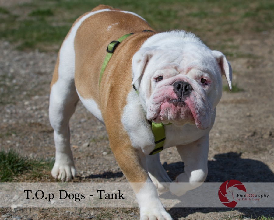 T.O.p Dogs, Toronto dogs, English Bulldog, Toronto pet photographer, pet photography,