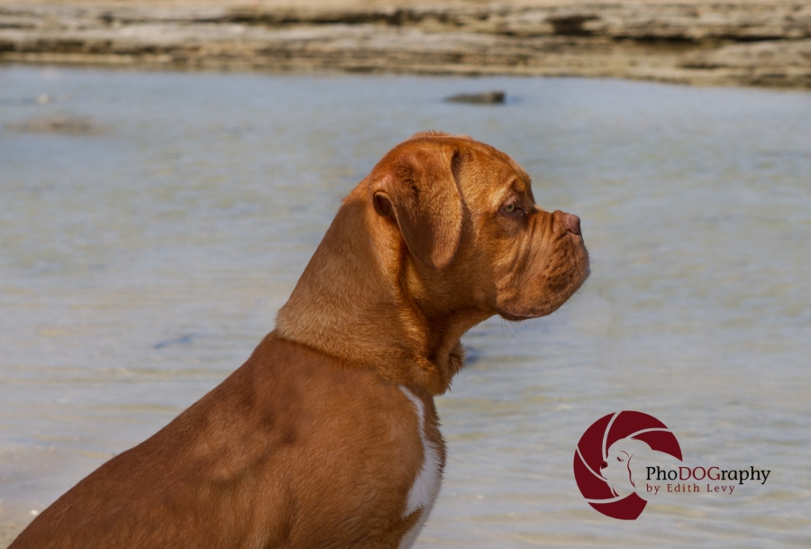 israel, beach, pet photography, Toronto Pet Photographer, dog, Mastiff