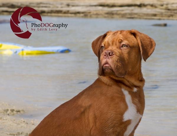 israel, beach, pet photography, Toronto Pet Photographer, dog, Mastiff