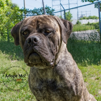 Toronto Animal Services, West REgion, rescue, shelter, Mastif, dog