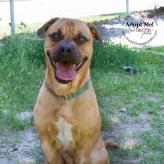 Toronto Animal Services, West REgion, rescue, shelter, dog, Chinese Sharpei mix