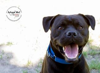 Toronto Animal Services, West REgion, rescue, shelter, Labrador, Boxer, dog