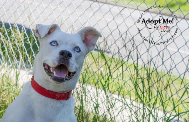 Toronto Animal Services, West REgion, rescue, shelter, dog, bulldog, siberian husky