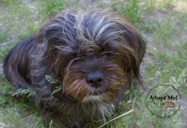 Toronto Animal Services, West REgion, rescue, shelter, dog, yorkshire terrier