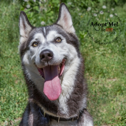 Toronto Animal Services, West REgion, rescue, shelter, dog, Siberian Husky