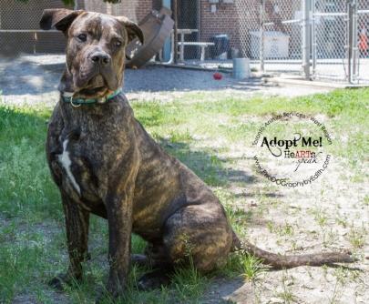 Toronto Animal Services, West REgion, rescue, shelter, dog, Mastiff