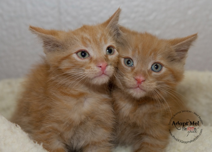 Toronto Animal Services, West Region, rescue, shelter, cat, kittens