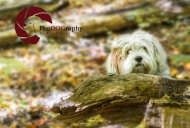 Lhasa Apso, dog, puppy, fall, park, Toronto Pet Photographer, Pet Photography