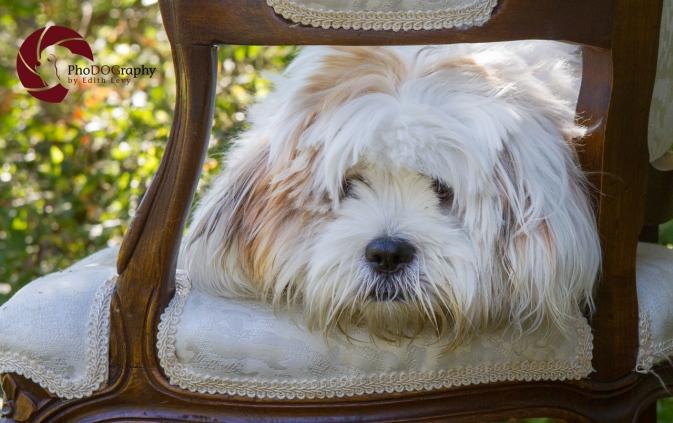 Lhasa Apso, dog, puppy, fall, park, Toronto Pet Photographer, Pet Photography