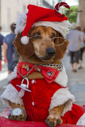 Cuba, Dachshund, dog, costume, Christmas, glasses, Havana
