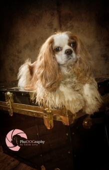 Cavalier King Charles Spaniel, Toronto Pet Photographer, studio, portrait, dog, pet photography, CKCS