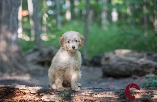 Mini Goldendoodle, Doodle, golden retriever, Poodle, puppy, Toronto Pet Photographer, Thornhill Pet Photographer, Vaughan Pet Photographer, Ontario Pet Photographer