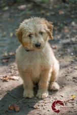 Mini Goldendoodle, Doodle, golden retriever, Poodle, puppy, Toronto Pet Photographer, Thornhill Pet Photographer, Vaughan Pet Photographer, Ontario Pet Photographer